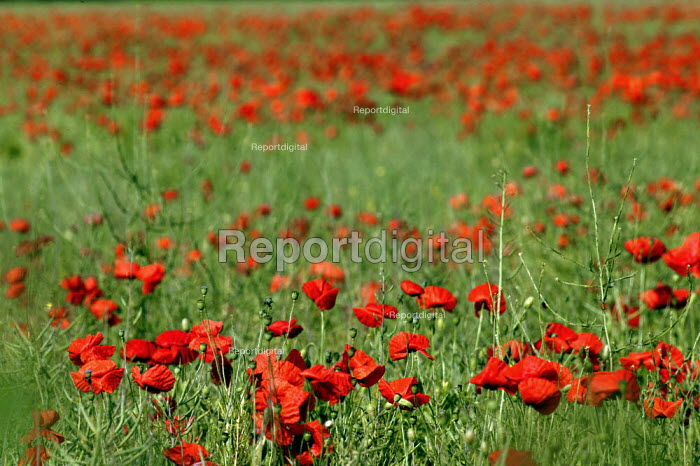 Field full of poppies, Warwickshire. - John Harris - 2003-06-13