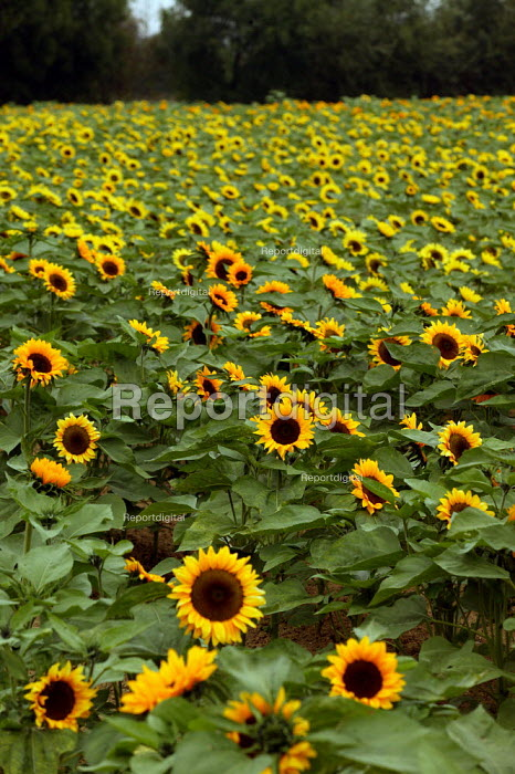 A field of sunflowers on a farm in the Cotswolds. - John Harris - 2003-09-03