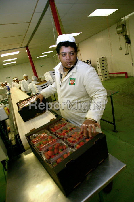 Packhouse workers packing strawberries from farms in the Vale of Evesham. Fusion Personel are working with The Ethical Trading Initiative to set up a licensing and registration scheme for Gangmasters to try and regulate the use of temporary workers, their pay and conditions. - John Harris - 2003-10-17