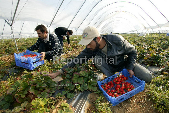 Iraqi Kurds picking on a strawberry farm in the Vale of Evesham. Fusion Personel are working with The Ethical Trading Initiative to set up a licensing and registration scheme for Gangmasters to try and regulate the use of temporary workers, their pay and conditions. - John Harris - 2003-10-17