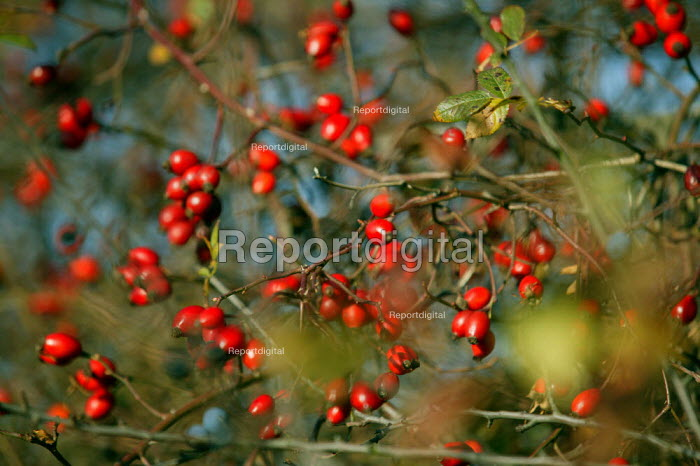 Hips of the wild rose or dog rose and sloe berries in an autumn hedgerow. Berry-bearing bushes sustain songbirds and mammals through the winter. - John Harris - 2003-10-23