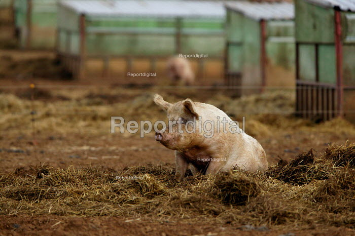 Free range pigs on a farm in Warwickshire. - John Harris - 2004-03-06