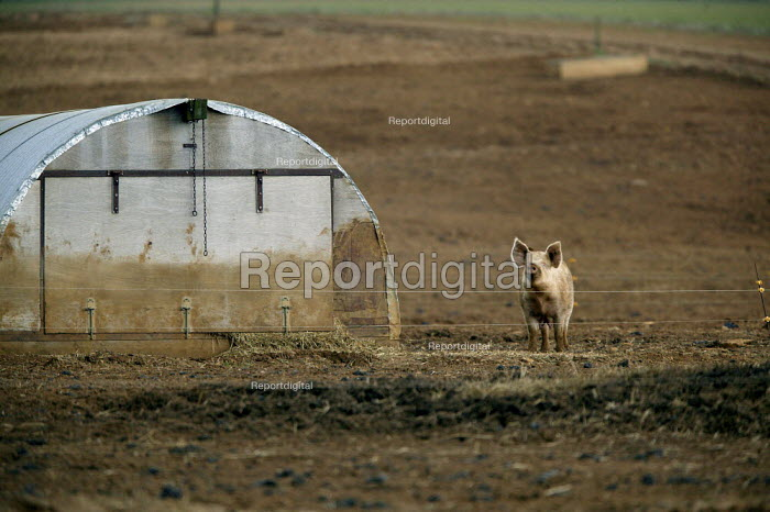 Free range pigs outside on a farm in Warwickshire. - John Harris - 2004-03-06