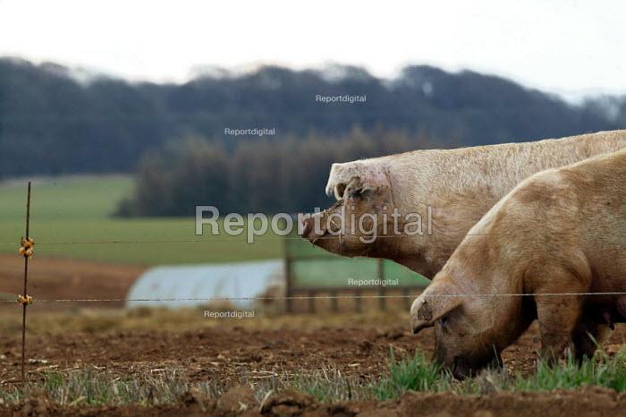 Free range pigs on a farm in Warwickshire. - John Harris - 2004-03-06