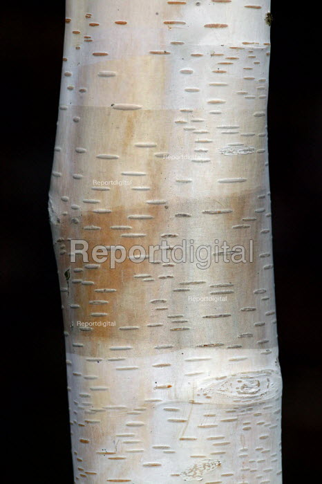 Silver birch tree bark. - John Harris - 2004-03-20