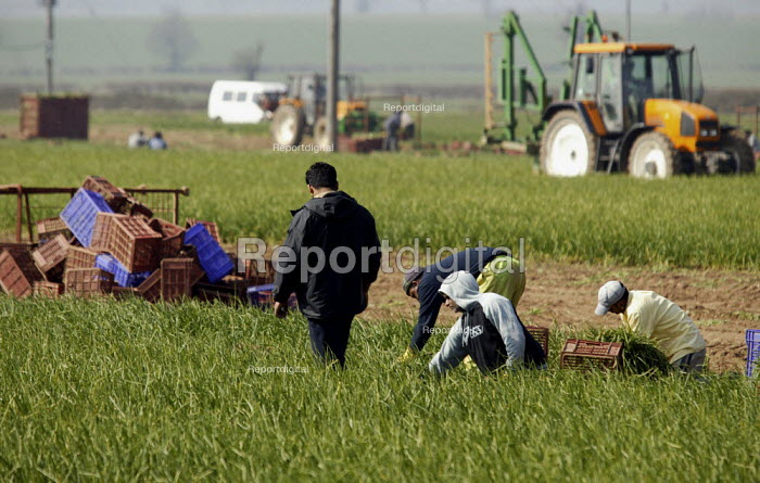 Agricultural workers picking spring onions on a farm in Warwickshire. - John Harris - 2004-03-31