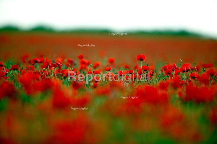 A field of poppies. - John Harris - 2004-06-28