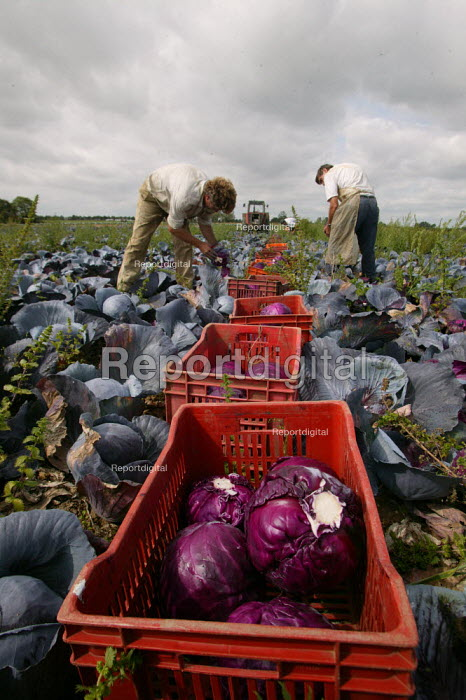Picking red cabbages by hand, Vale of Evesham. - John Harris - 2004-09-04