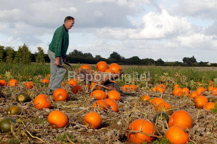 Farmworker harvesting pumpkins in a field in the Vale of Evesham. - John Harris - 2004-09-23