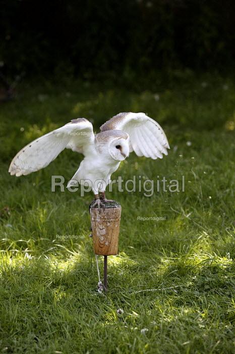 Barn Owl at a Falconry. - John Harris - 2003-06-02