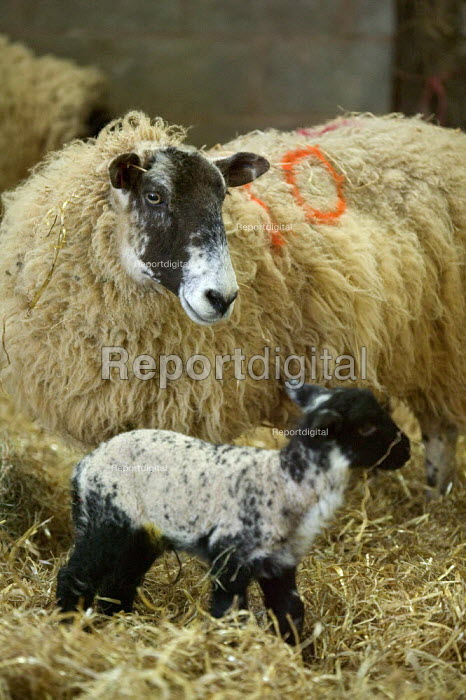 Ewes and their lambs in the lambing shed, Worcestershire - John Harris - 2006-06-03