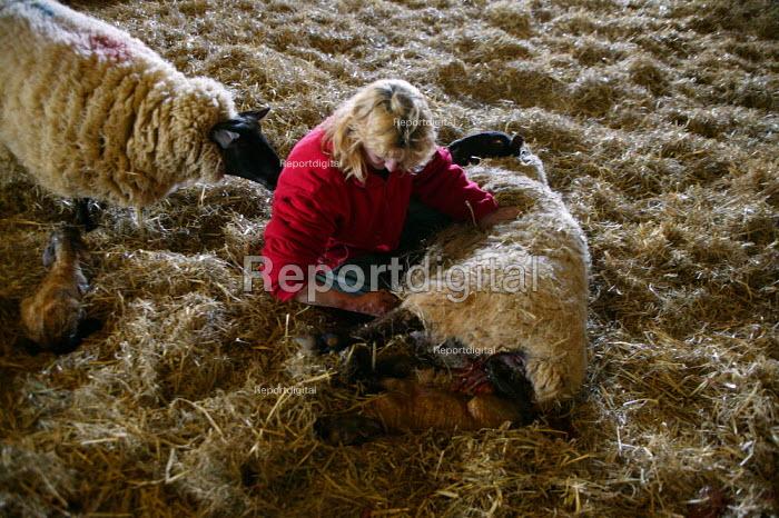 Shepherdess in the lambing shed, helping a ewe give birth, Worcestershire - John Harris - 2006-06-03