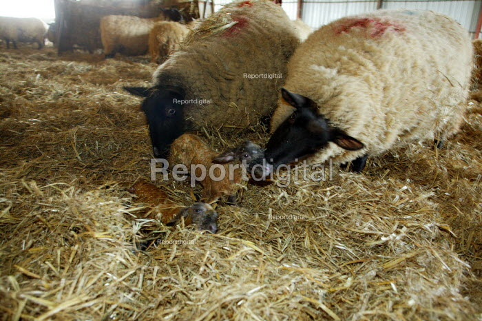 Ewes in the lambing shed, helping each other to lick clean a newborn lamb, Worcestershire - John Harris - 2006-06-03