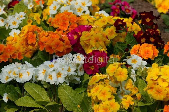 Council flower bed with primroses, Bromsgrove. - John Harris - 2007-03-31