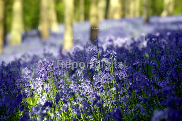 Bluebell walk in a wood, Warwickshire - John Harris - 2007-04-28