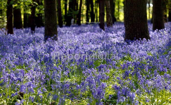 Bluebell walk in a wood, Warwickshire - John Harris - 2007-04-28