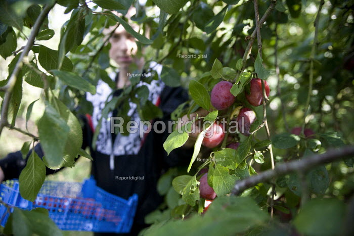 Teenagers picking the plum crop. Much of the harvest will be left to rot due to the shortage of migrant workers to pick the fruit. Freemans Fruit Farm Snitterfield, Warwickshire - John Harris - 2008-09-03