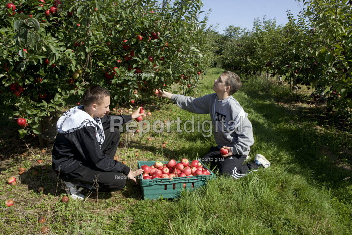 Teenagers picking the apple crop. Much of the harvest will be left to rot due to the shortage of migrant workers to pick the fruit. Freemans Fruit Farm Snitterfield, Warwickshire - John Harris - 2008-09-03
