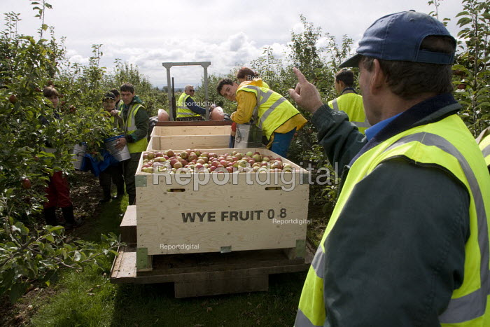A supervisor getting cross as the apples get bruised. Migrant workers picking apples under the Seasonal Agricultural Workers Scheme. Warwickshire. Many are students from Bulgaria and Romania as well Poland. - John Harris - 2008-09-08