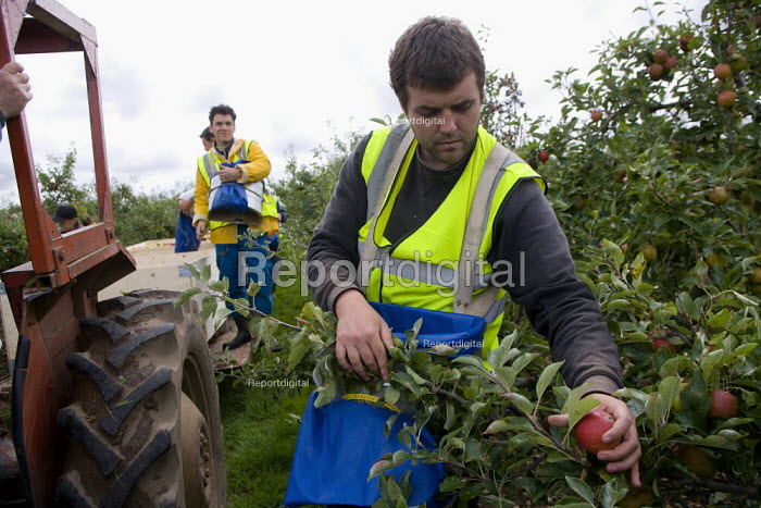 Migrant workers picking apples under the Seasonal Agricultural Workers Scheme. Warwickshire. Many are students from Bulgaria and Romania as well Poland. - John Harris - 2008-09-08