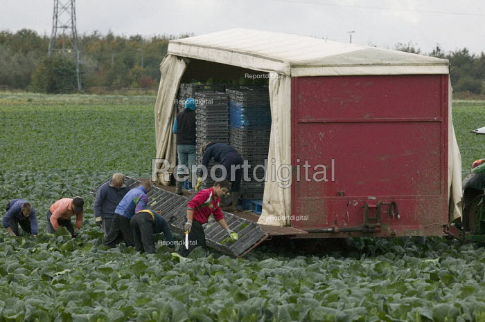 Migrant workers, mostly form Easten Europe, picking cabbages, Greenfield Produce, Leeds - John Harris - 2008-10-16