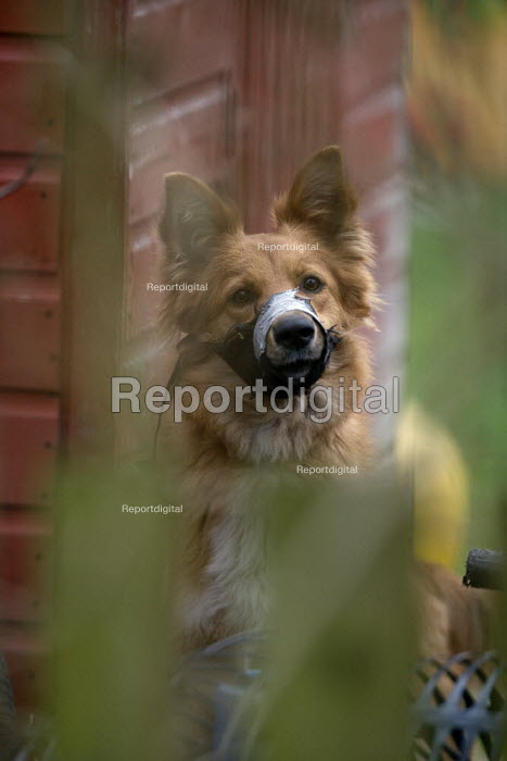 Noisy barking dog with a muzzle and gaffer tape wrapped around its jaws in a garden. - John Harris - 2009-02-24