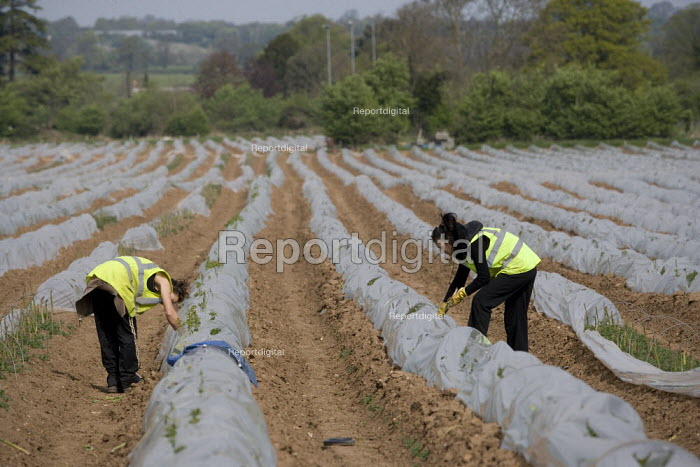 Migrant workers picking asparagus from plastic polytunnels, Warwickshire. - John Harris - 2009-04-24