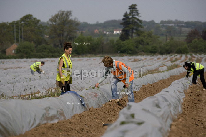 A young Russian woman gangmaster checks their work as migrant workers pick asparagus from plastic polytunnels, Warwickshire. - John Harris - 2009-04-24