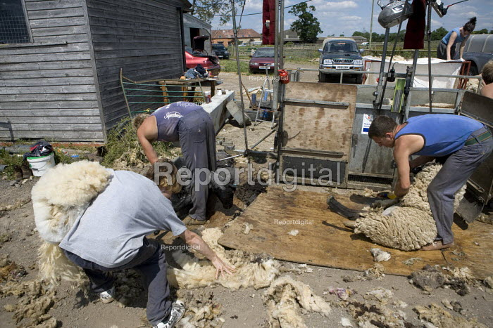 Sheep shearing on a farm in Wawickshire. - John Harris - 2009-06-24