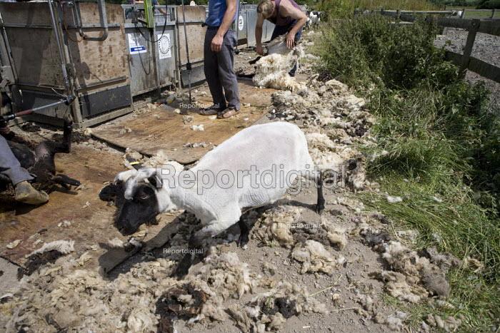 Sheep shearing on a farm in Wawickshire. - John Harris - 2009-06-24