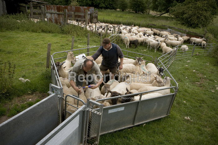 Farmworkers treat sheep with Crovect pour on blowfly, ticks and headflies treatment and Noromectin oral injection solution wormer insecticide for their health, Wawickshire. - John Harris - 2009-06-22