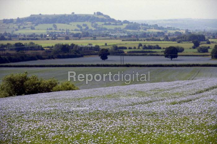 Blue flax flowers (Linum usitatissimum) in a fields, Warwickshire. It is used to make linseed oil. - John Harris - 2009-07-02