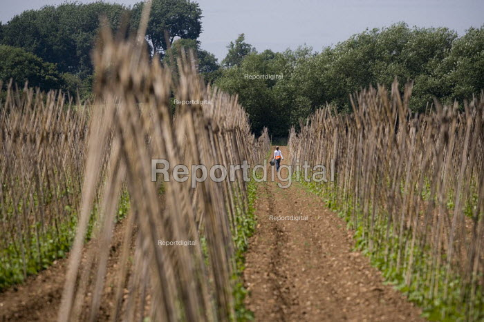 Migrant worker weeding the rows of runner beans on a farm in Warwickshire - John Harris - 2009-07-02