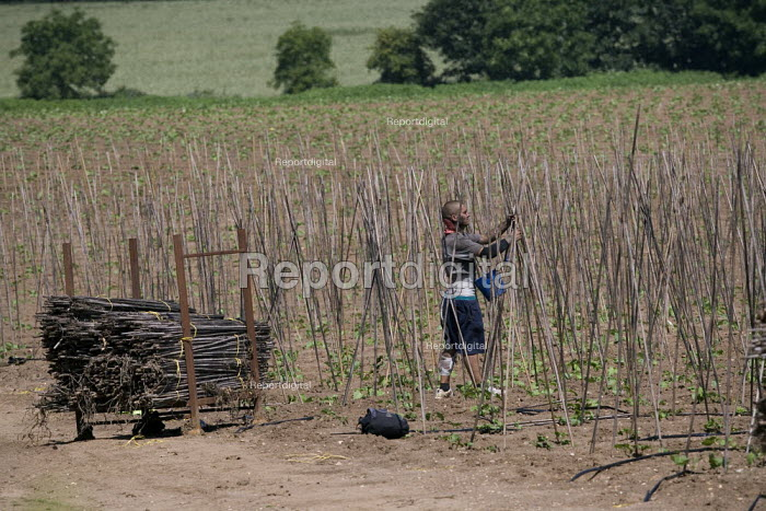 Migrant workers assembling the canes in rows for runner beans on a farm in Warwickshire - John Harris - 2009-07-02