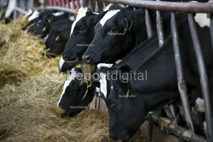 Cows eating feed in a cowshed. - John Harris - 2009-07-22