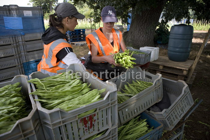 A Lithuanian gangmaster checking the weight of beans picked by Bulgarian, Lithuanian, and Polish workers, Warwickshire. - John Harris - 2009-07-23