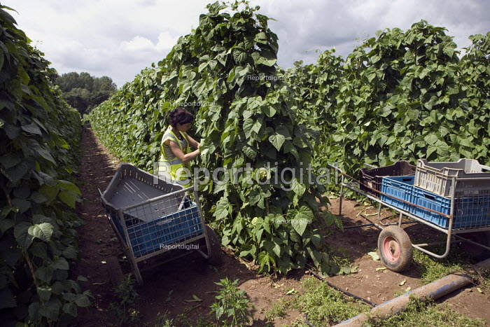 Bulgarian, Lithuanian, and Polish workers picking amoungst the rows of runner beans, Warwickshire. - John Harris - 2009-07-23