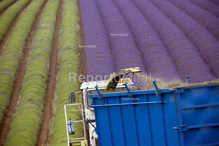 Lavender harvesting on a farm in the Cotswolds. The plants are harvested using a purpose built machine harvester. This is designed to cut the hedge neatly into a perfect dome, the oil is then extracted - John Harris - 2009-08-07