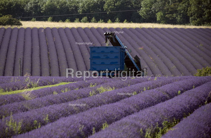 Lavender harvesting on a farm in the Cotswolds. The plants are harvested using a purpose built machine harvester. This is designed to cut the hedge neatly into a perfect dome, the oil is then extracted - John Harris - 2009-07-25
