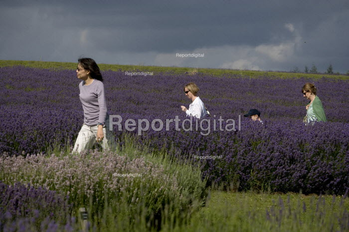 Tourists visiting a Lavender farm in the Cotswolds. - John Harris - 2009-07-25