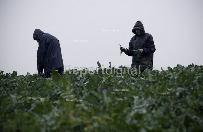 Migrant workers picking purple sprouting broccoli in the pouring rain, Cotswalds - John Harris - 2009-08-06