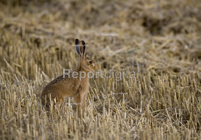 A rare brown hare in a field of straw, Rutland. They are in decline and the intensification of agriculture has been a major factor. - John Harris - 2009-08-23