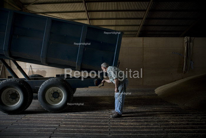 A tractor driver unloads the wheat into the grain store, Rutland. Brushing the grain off the trailer so it doesn't spill into the road. - John Harris - 2009-08-21