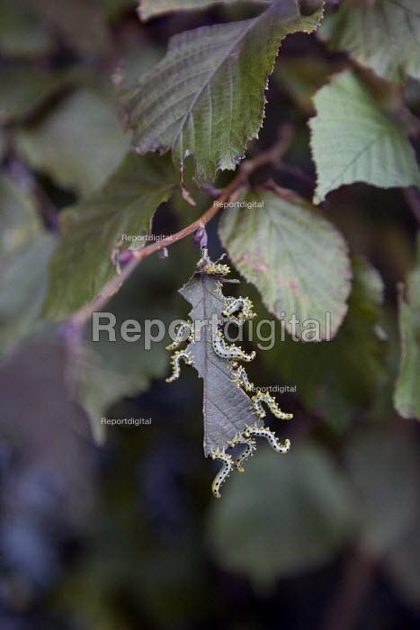 Caterpillars eating Hazel leaves in a hedgerow. - John Harris - 2009-09-06