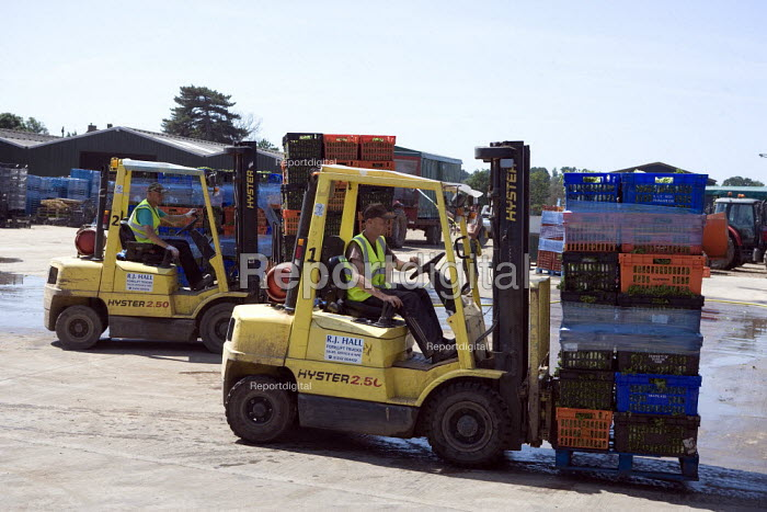 Migrant workers driving forklift trucks and moving palettes, lettuce production on a farm in Warwickshire - John Harris - 2010-06-28