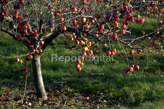 Unpicked apples in an orchard in the Vale of Evesham. Changes in Saws, the Seasonal Agricultural Workers Scheme have led to a shortage of migrant workers to pick the harvest. - John Harris - 2010-11-10