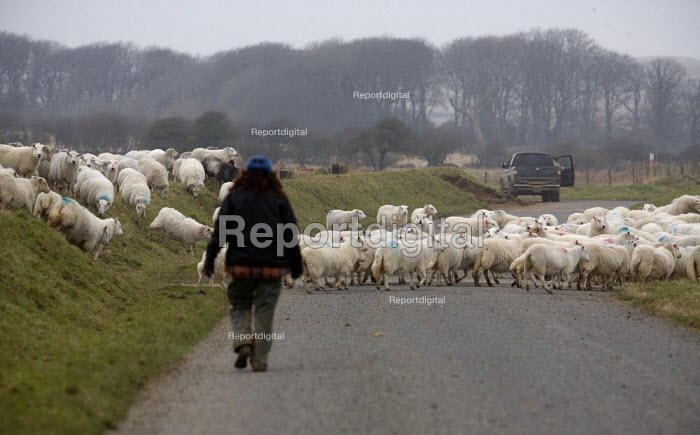 Moving sheep, Pembrokeshire, Wales - John Harris - 2011-03-05