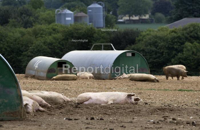 Pigs sleeping on a farm in Suffolk. - John Harris - 2011-05-19