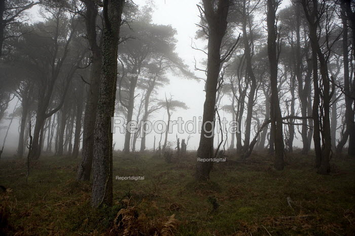 A wood of Scots Pines (Pinus sylvestris an evergreen coniferous tree) shrouded in winter mist and fog, forestry plantation on Porlock Hill, Exmoor National Park, Somerset. - John Harris - 2011-11-08