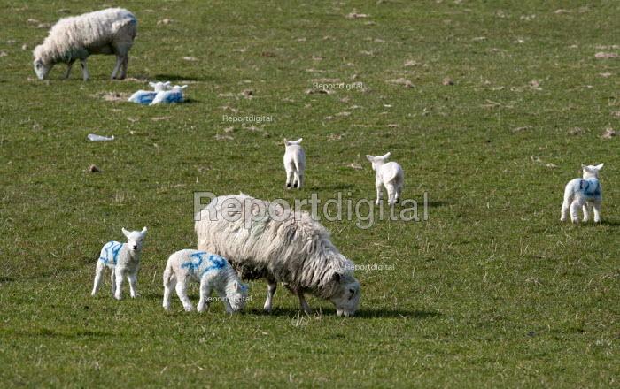 No 39. Numbered spring lambs and ewes, North Wales - John Harris - 2013-03-19